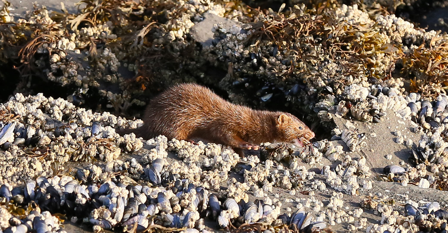 Mink eating a purple shore crab.