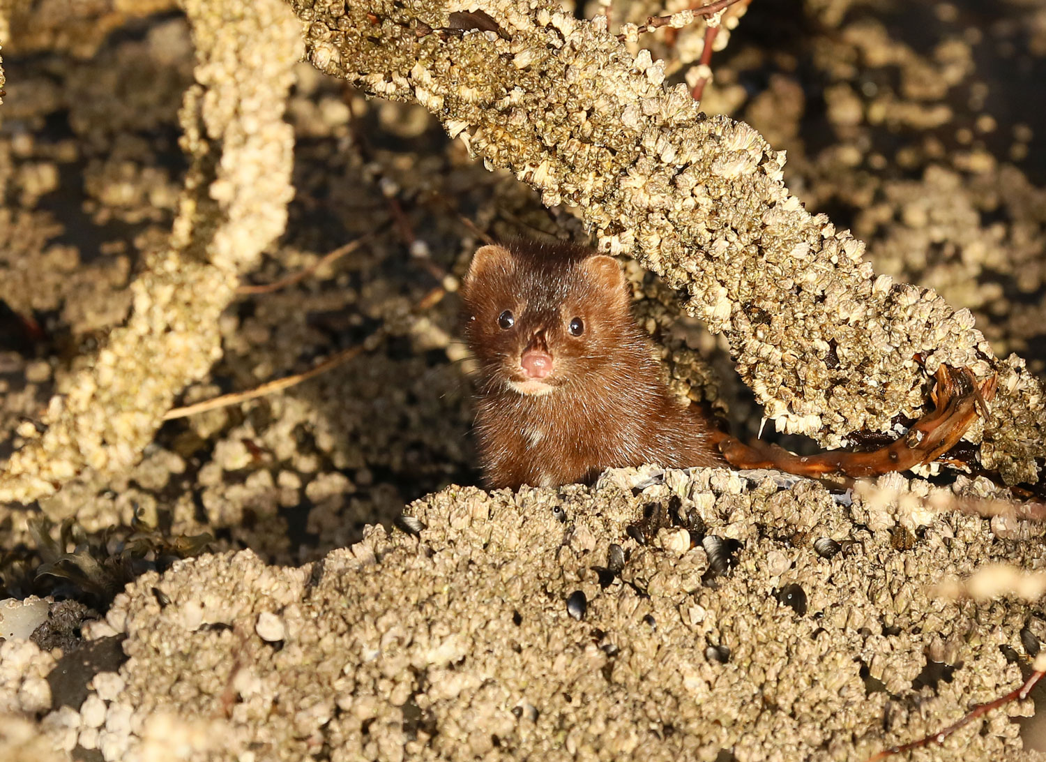 American mink ( Neovison vison)   peeking out between barnacles and seaweed. Don't let that little face fool you. This mink will shred your hand if you try to pet it.