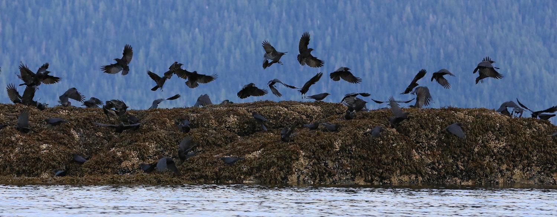 Crows_1811.jpg