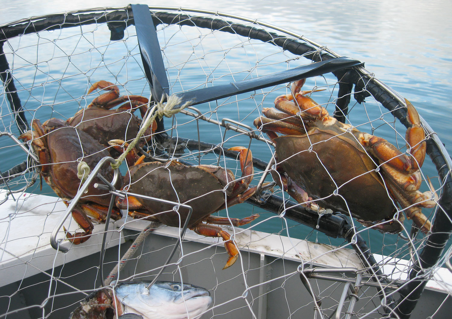 Cleaning Dungeness Crab — Alaska Floats My Boat