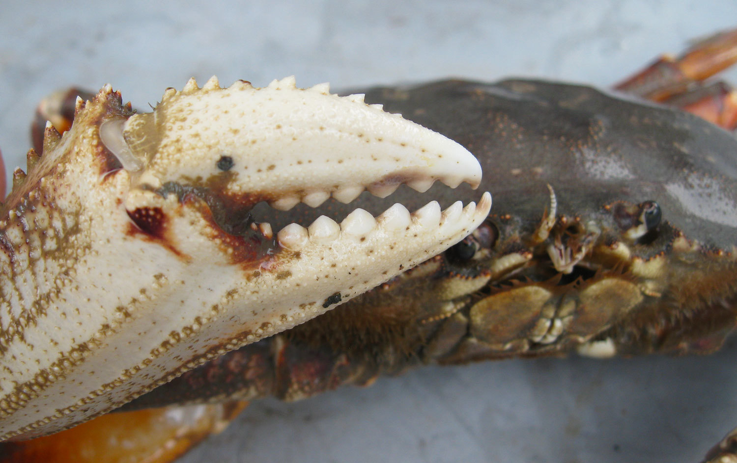 Dungeness crab's powerful pincer