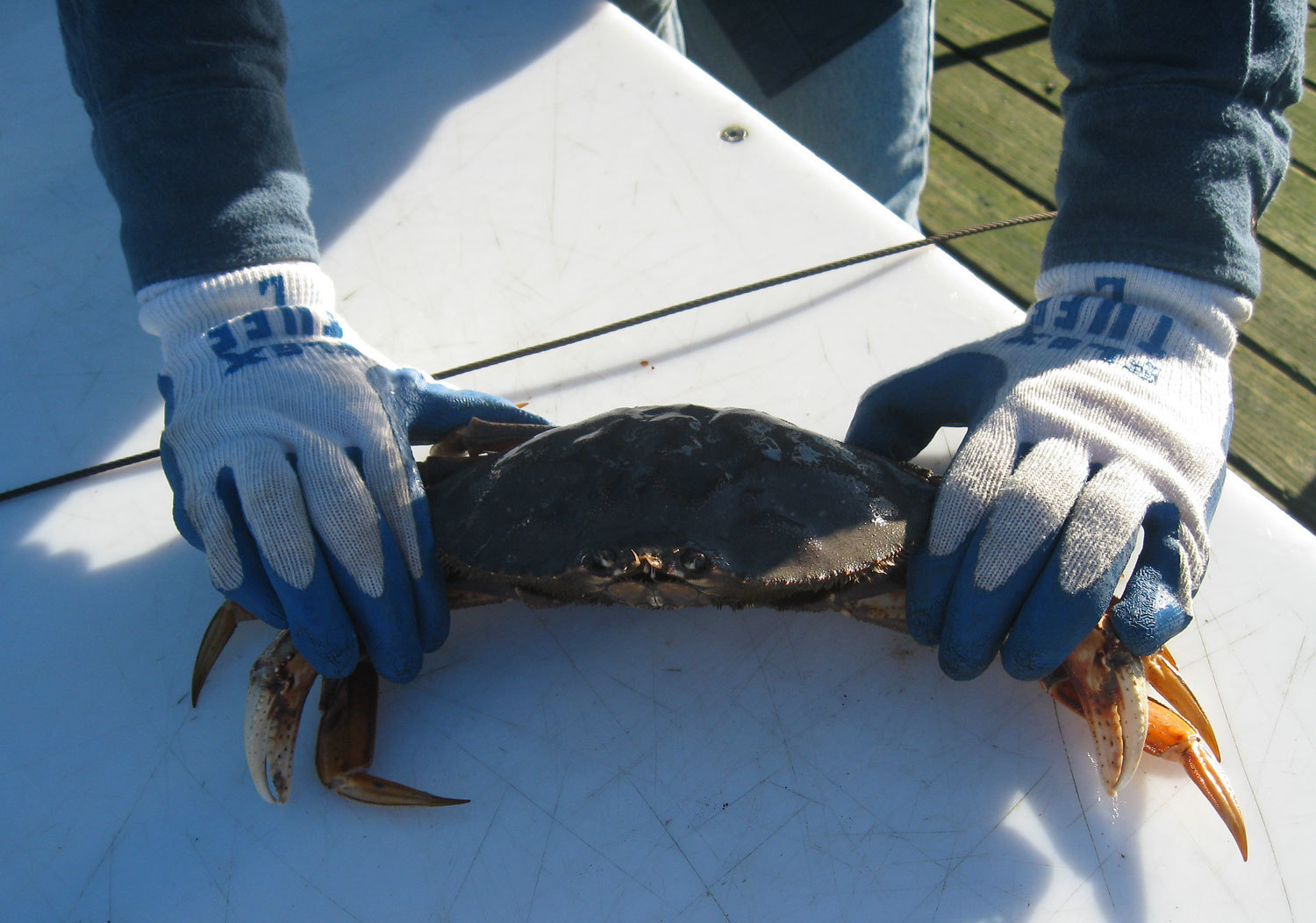 Dungeness_crab_cleaning_6232.jpg
