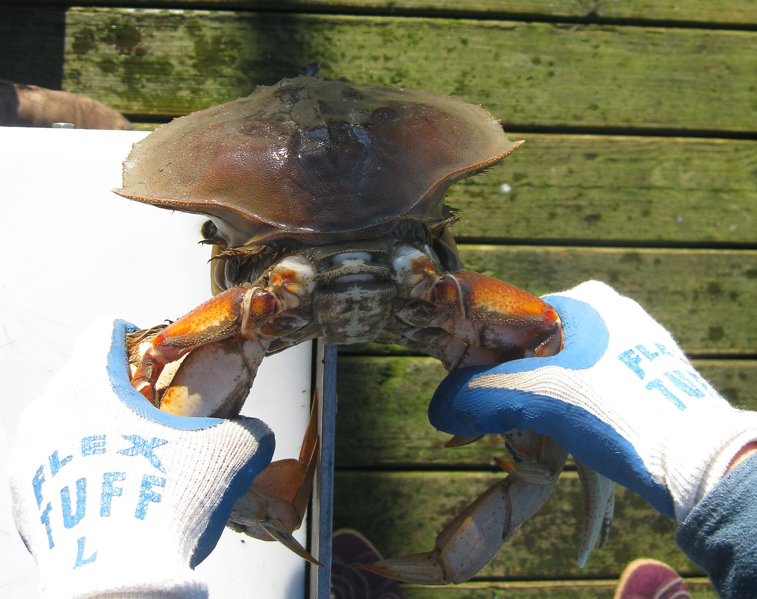 Dungeness crab cleaning