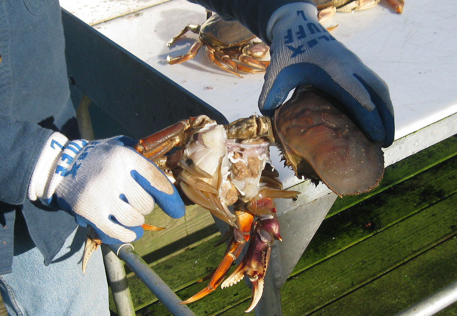 Dungeness crab pulling the back off