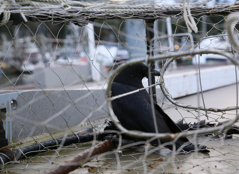 Crow_in_crabpot_1847.jpg
