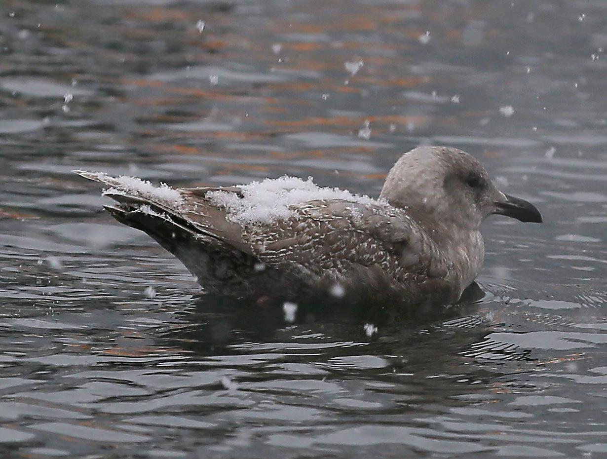 Seagull_snow_2241.jpg