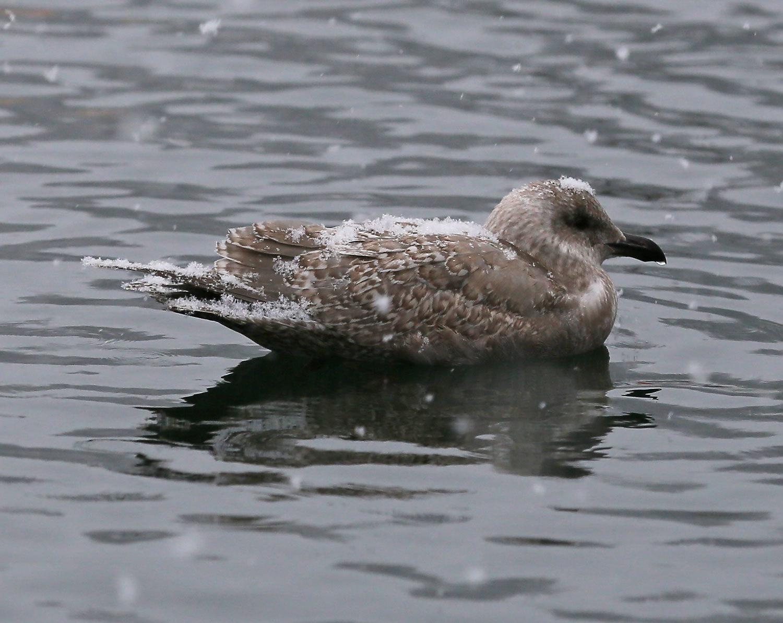 Seagull_snow_2243.jpg