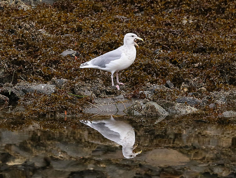 Seagull gull downing eating starfish Southeast Alaska