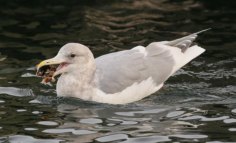 Seagull eating mussels gull Southeast Alaska