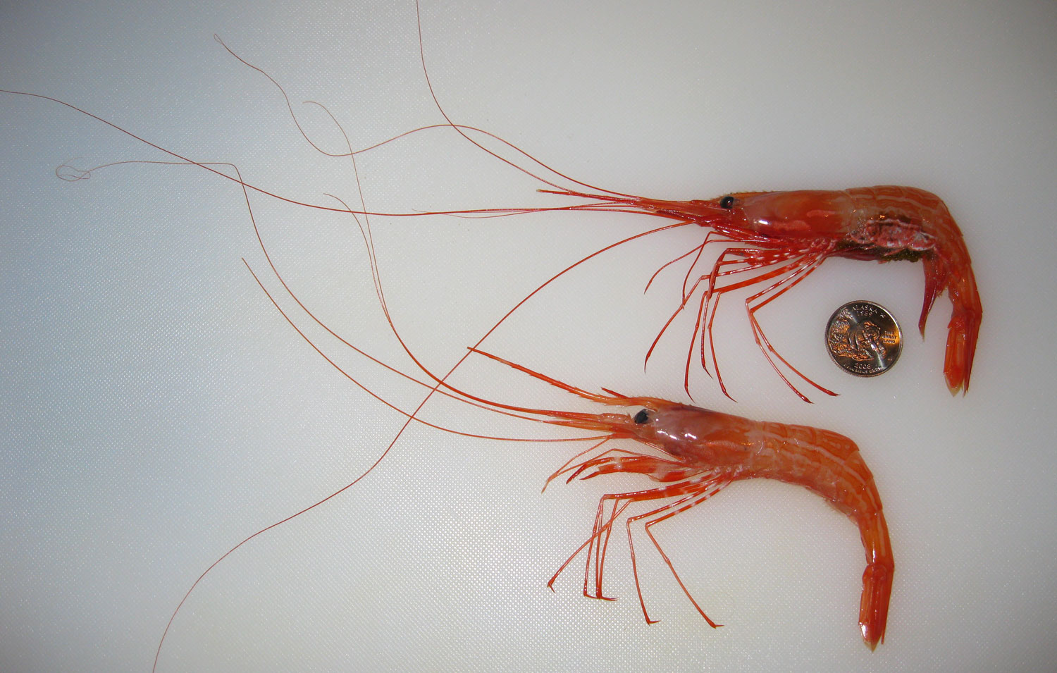 Sidestripe shrimp  (Pandalopsis dispar)   with a quarter to show size. The top shrimp is eggy and the bottom shrimp is not. I buy 'mediums', so sidestripes can be bigger than this. Sidestripes are a mid-sized shrimp for Alaska. The spot prawn is much bigger and several other species are smaller.