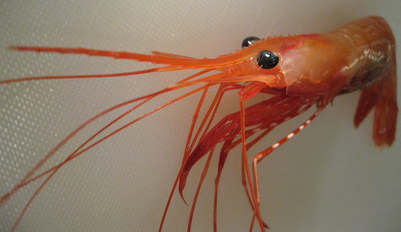 Shrimp_sidestripe_Pandalopsis_dispar_6473.jpg
