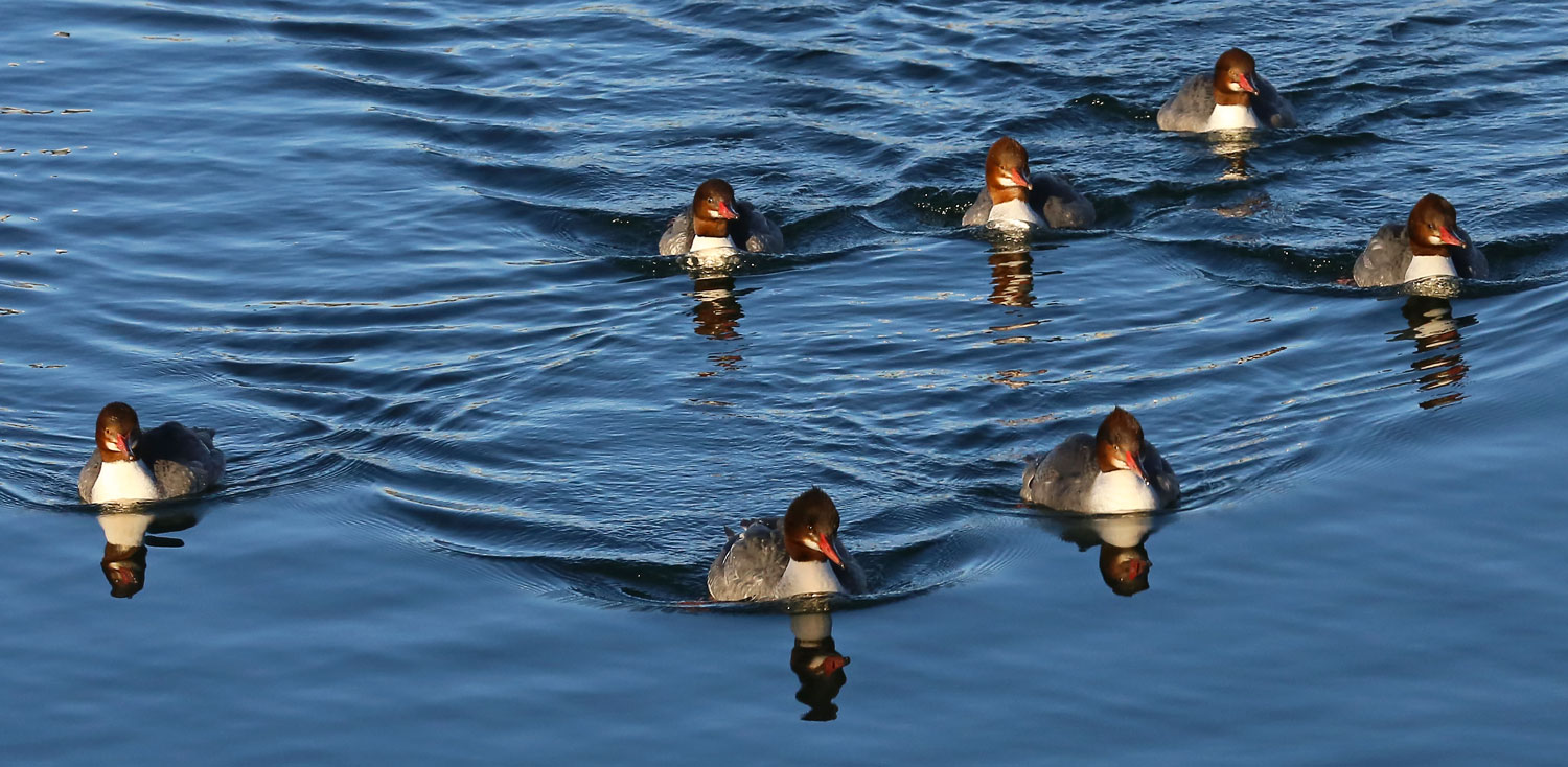 Female common merganser. These ladies are obviously on a mission.