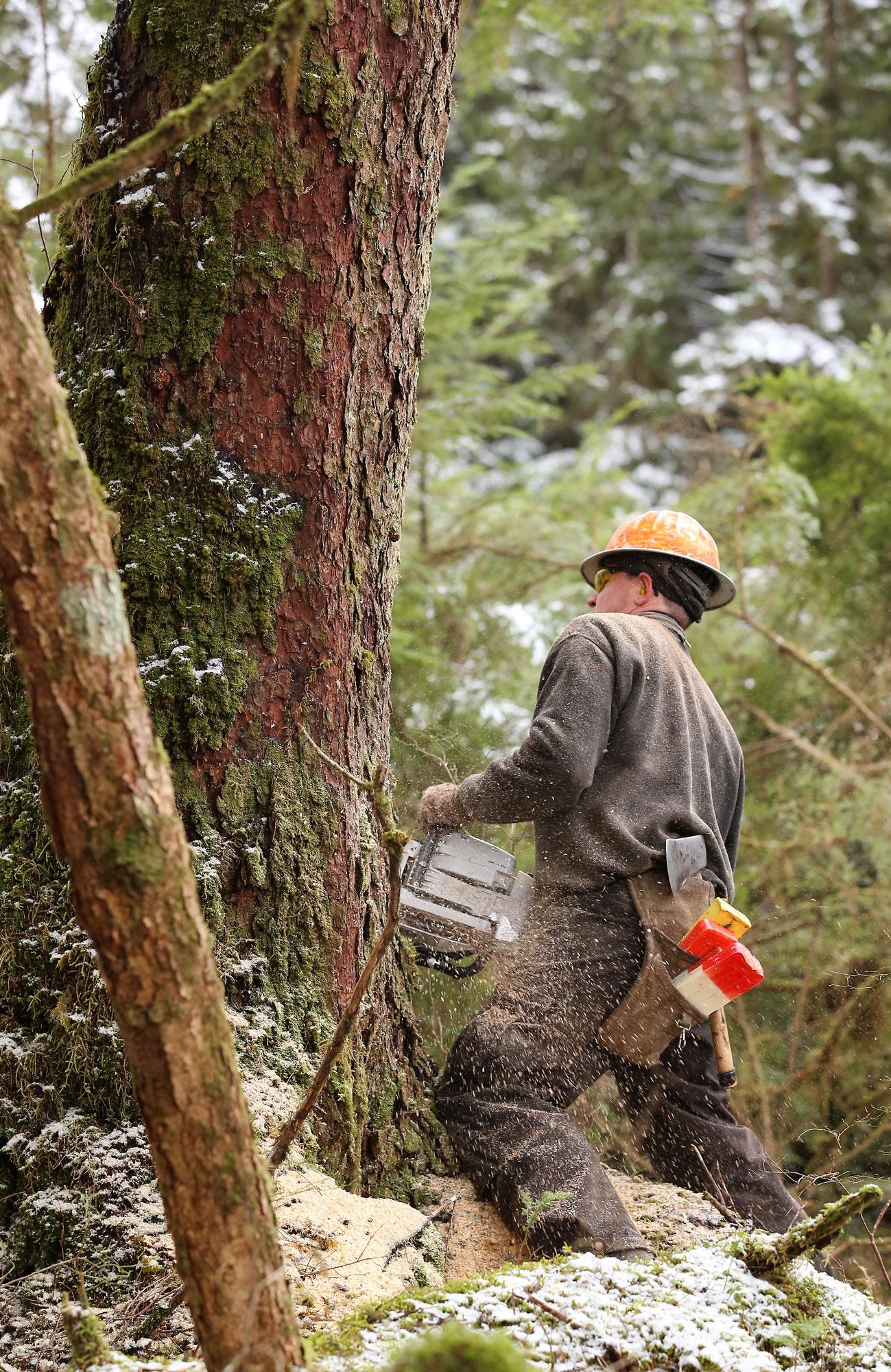 Logging logger cutter cutting tree Southeast Alaska
