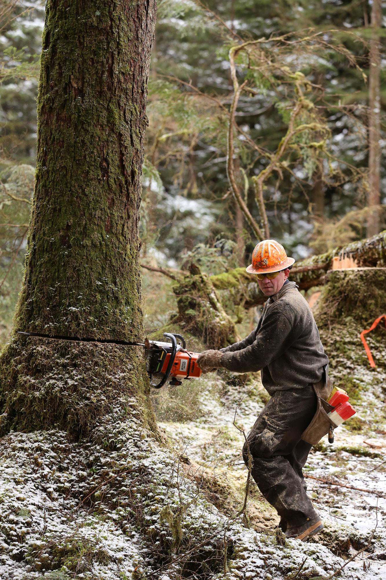 Logger cutting tree logging Southeast Alaska
