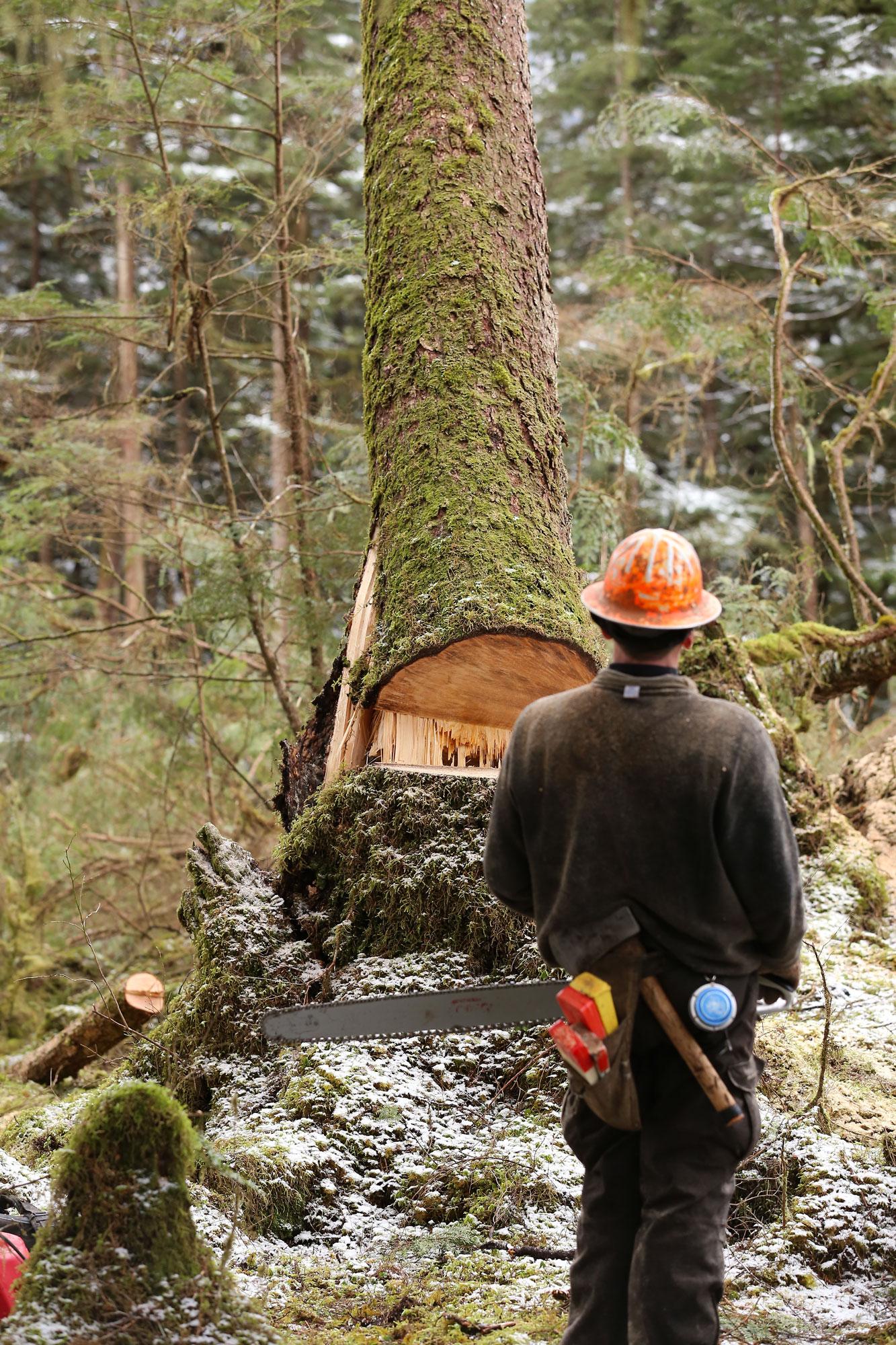 Logging logger tree falling faller Southeast Alaska