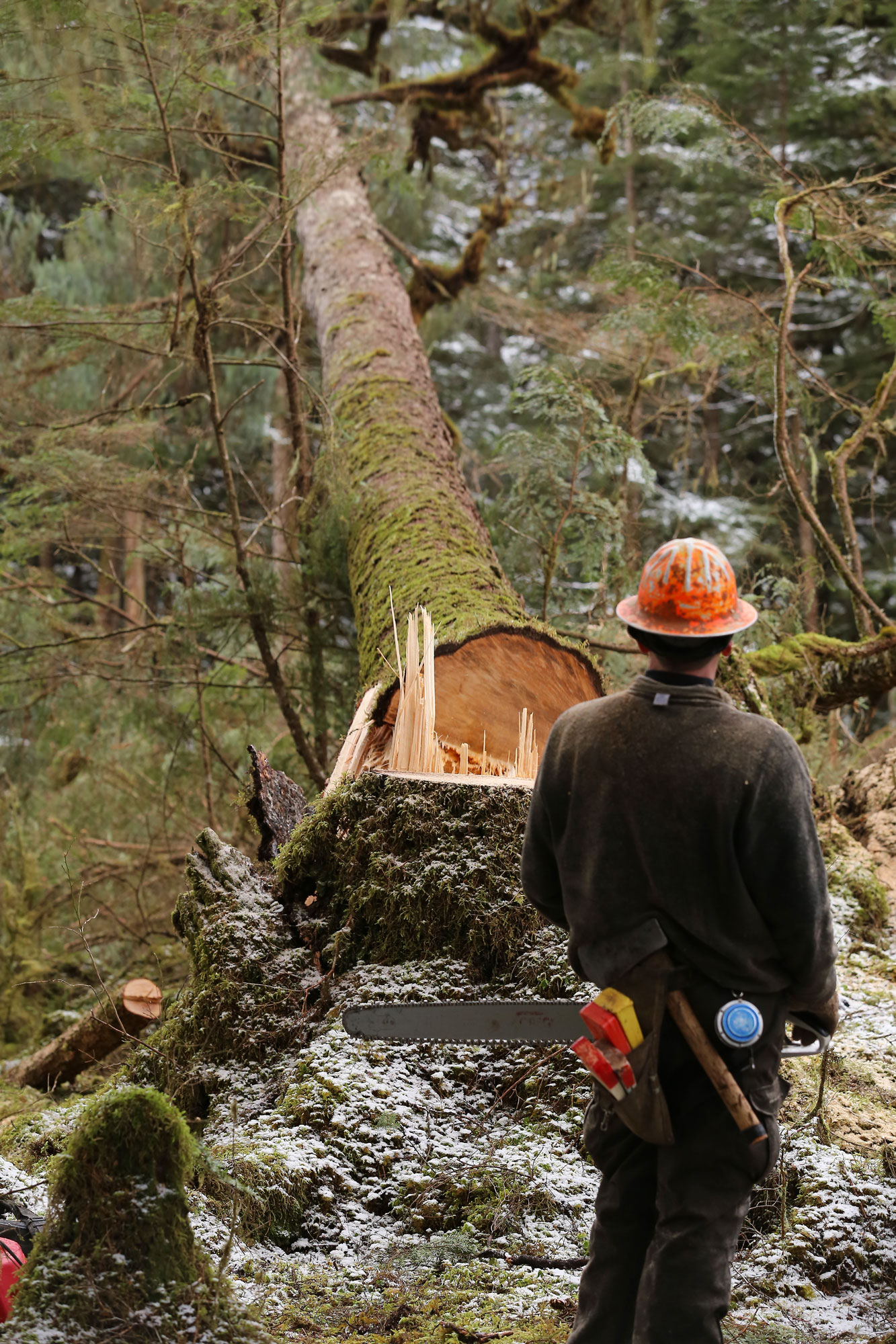 Logger logging tree falling Southeast Alaska
