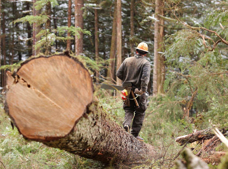 Measuring to buck the log.