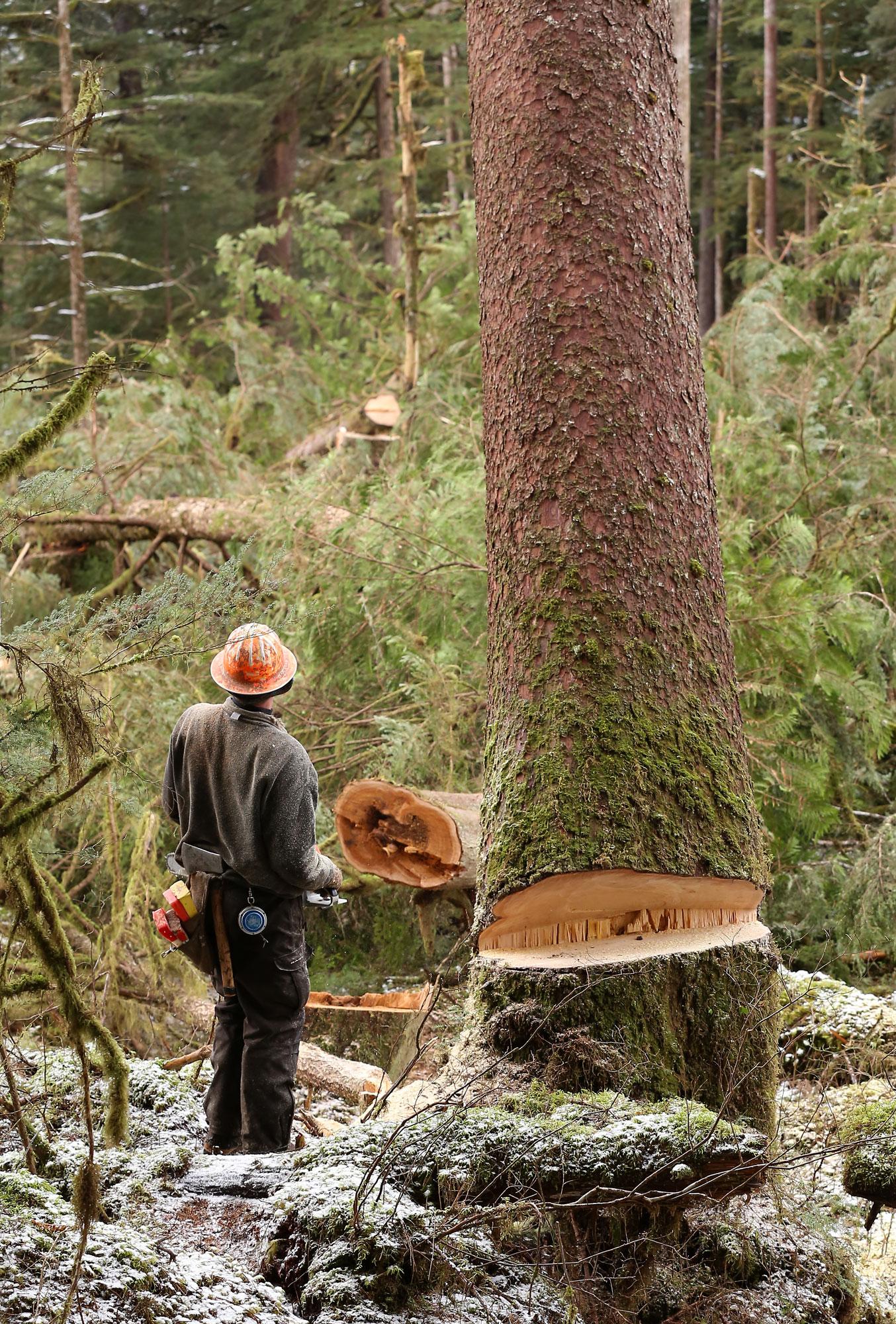 Logging logger faller big tree spruce Alaska