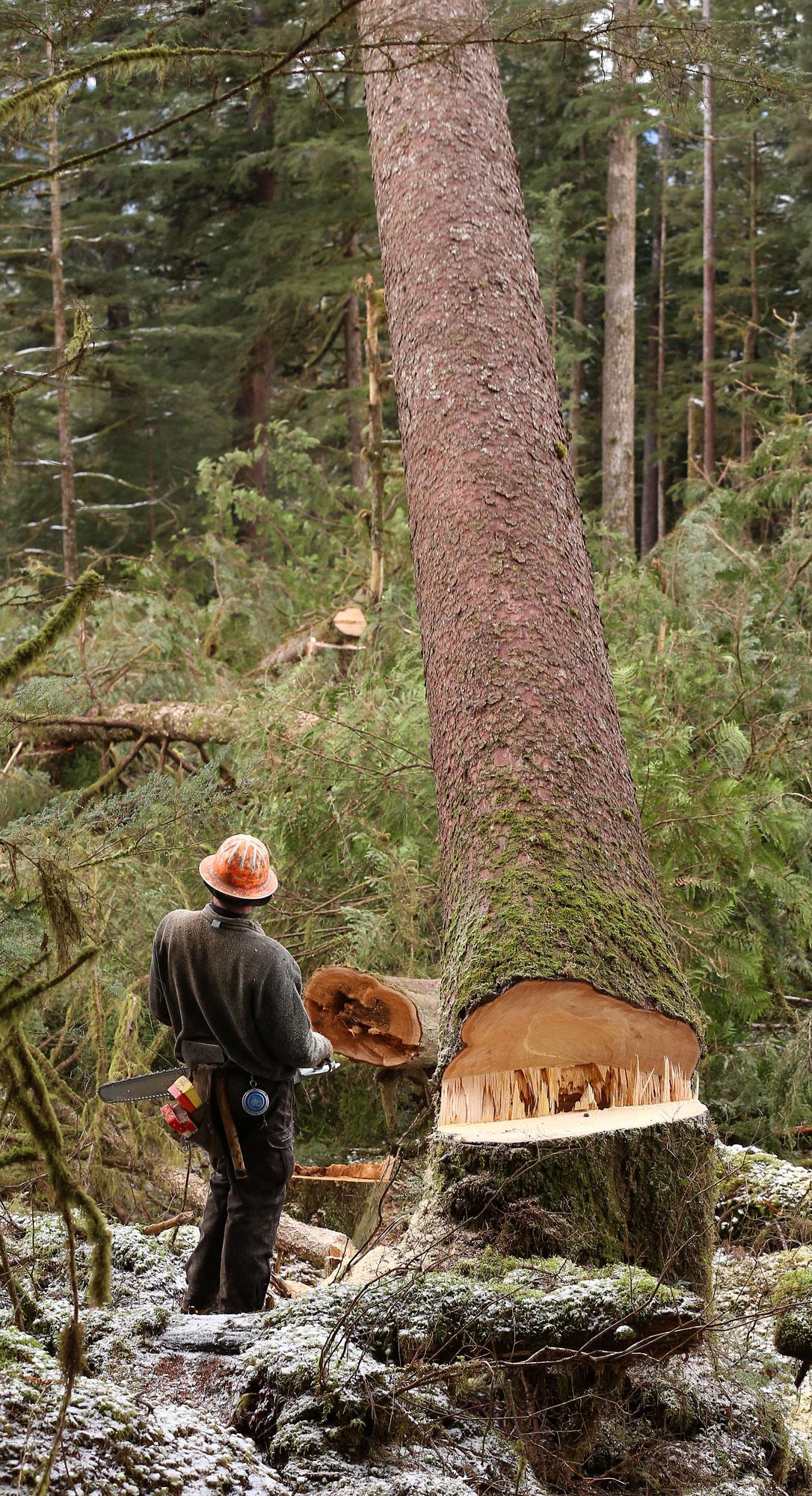 Logging big tree falling faller cutter spruce Southeast Alaska