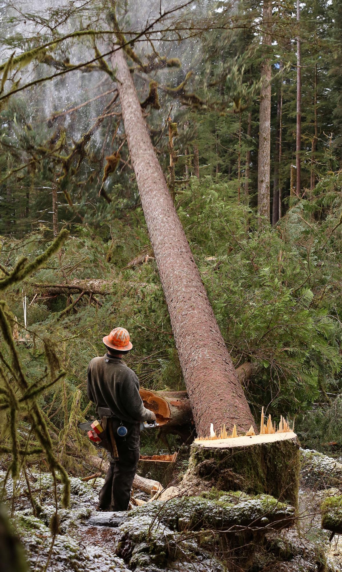 Logging big tree falling cutter stump Southeast Alaska