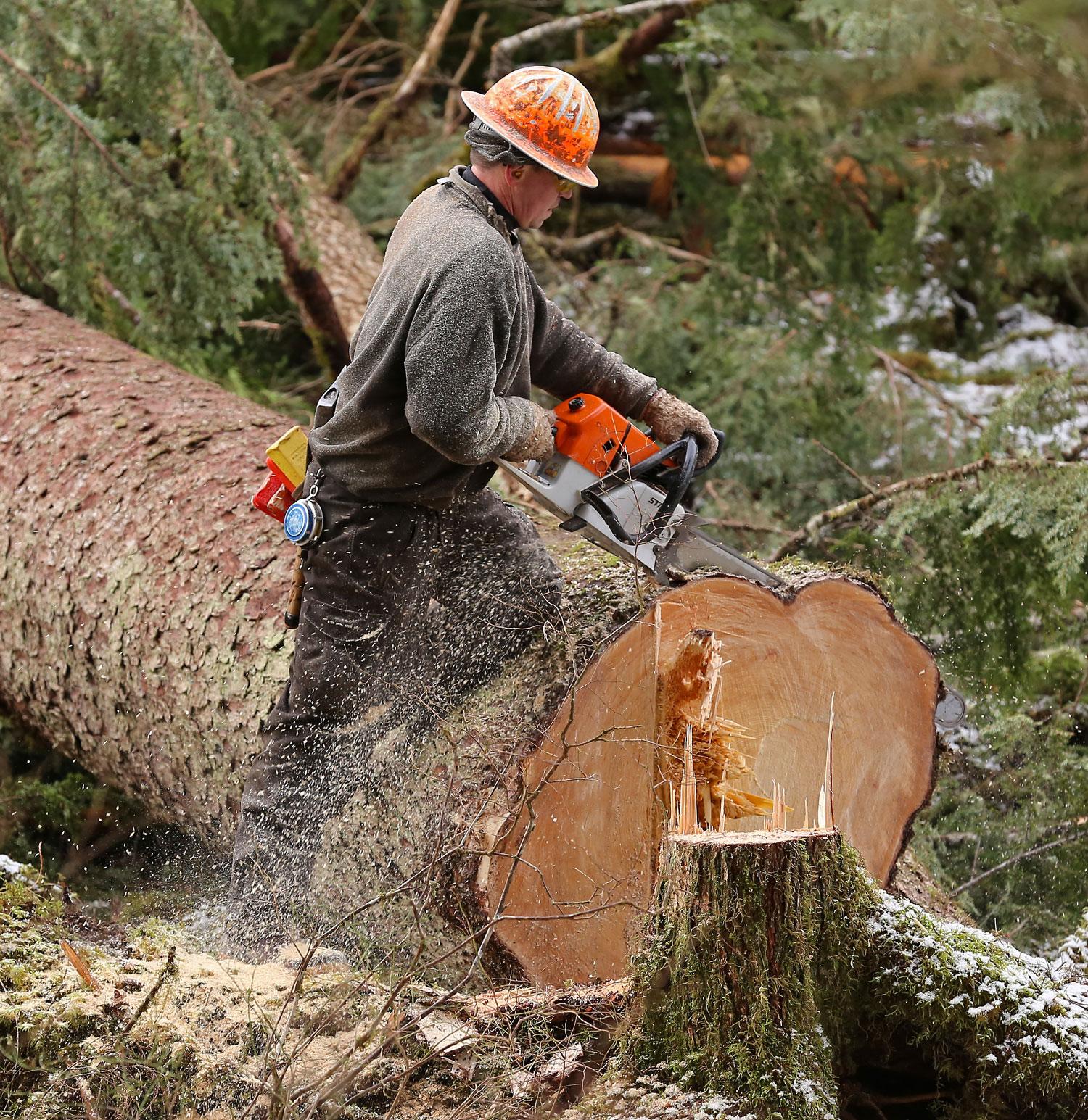 Logging cutter faller logger big spruce butt cut Southeast Alaska