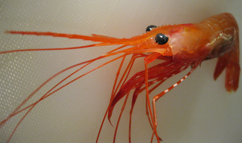 Putting Up Sidestripe Shrimp