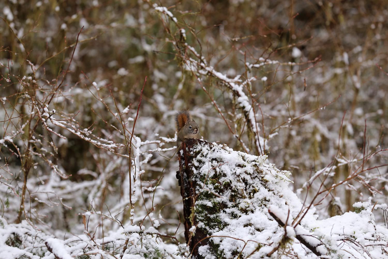 Alaskan red squirrel tree squirrel