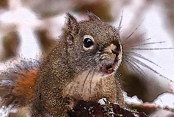 Red Squirrel chattering