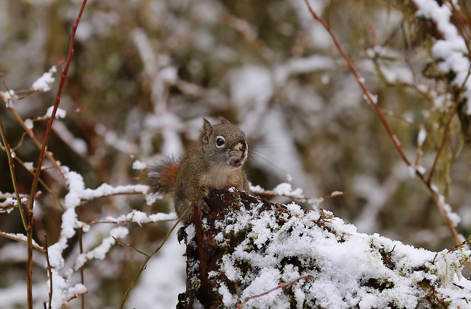 """Alaskan red squirrel, mouth open, chattering. That's """"This is MY territory!"""" in squirrel."""