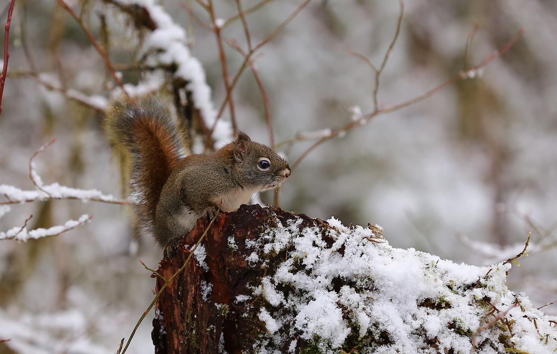 Red squirrel ( Tamiasciurus hudsonicus )
