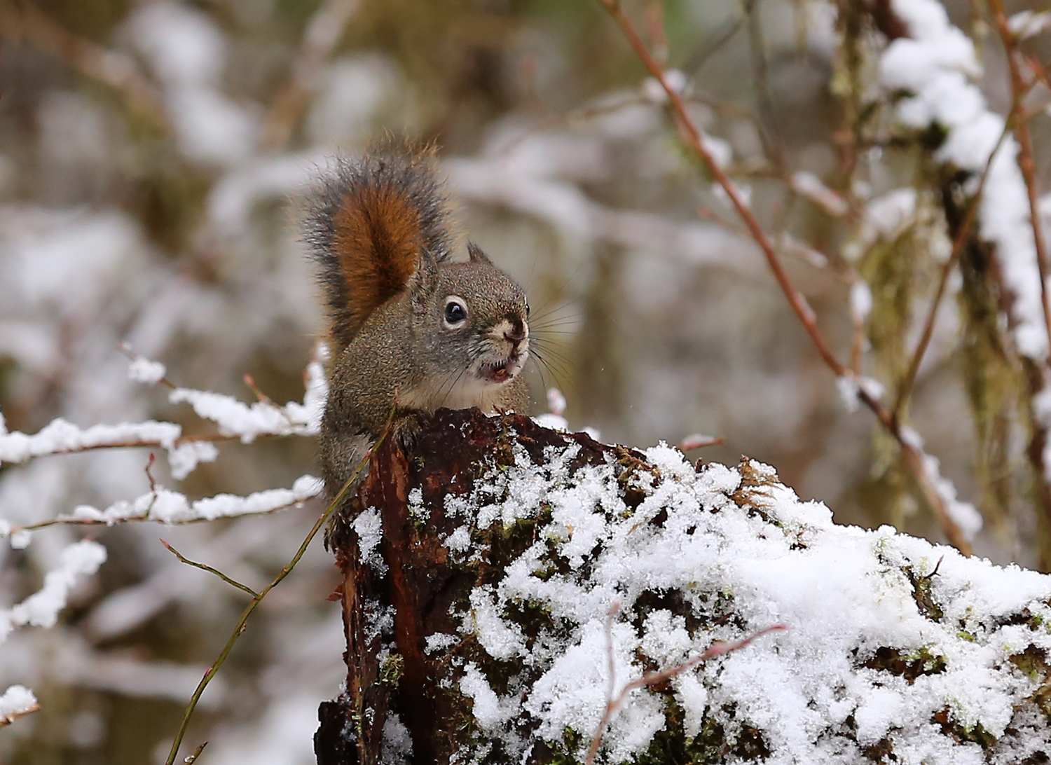 Chattering Red Squirrel — Alaska Floats My Boat