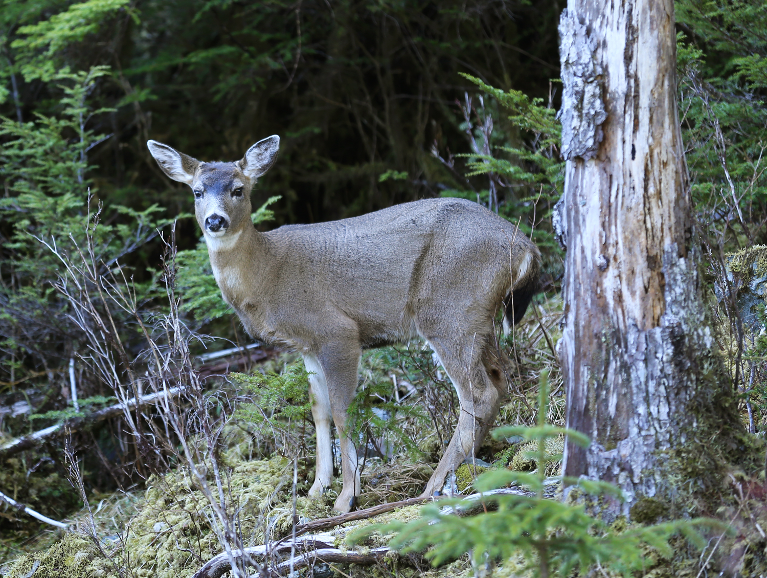 Sitka blacktail deer practicing a broadside presentation by the road.