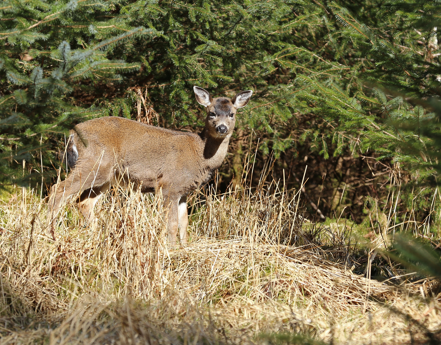 Sitka blacktail yearling. What a baby face!
