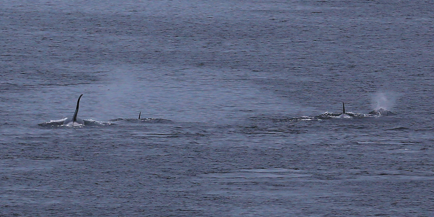 Killer whales (orca) surfacing in Tongass Narrows. On the left is a male. (Sorry about the poor quality of the whale photos)