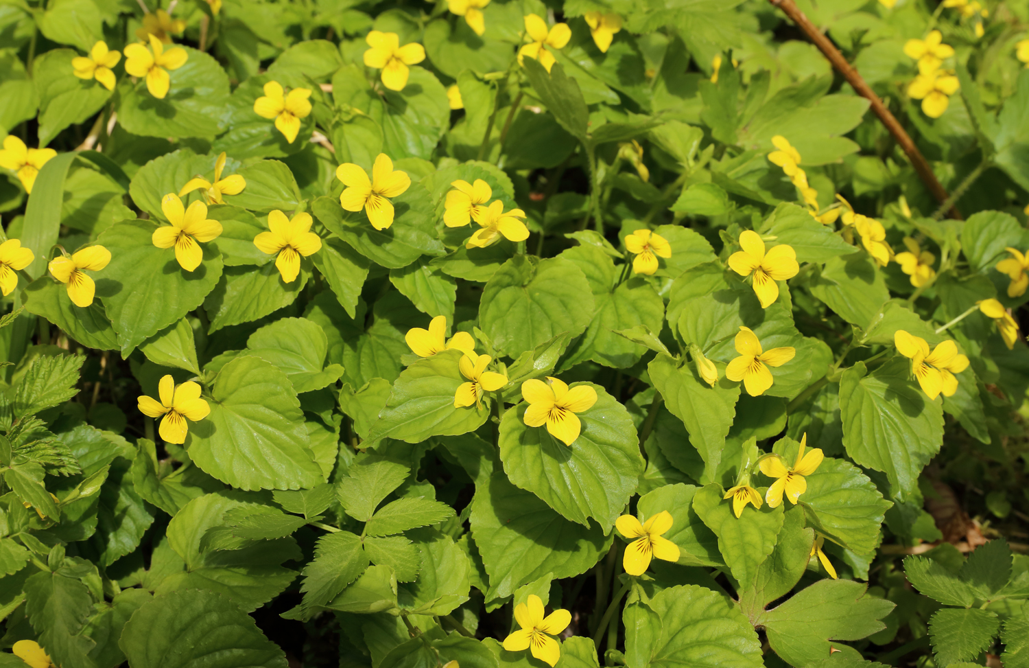 I often find yellow violets near nettle patches. This is another edible and medicinal plant!