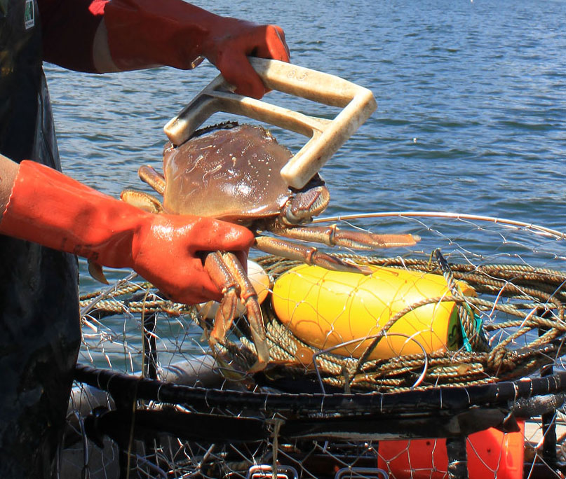 A Peek at Commercial Dungeness Crabbing