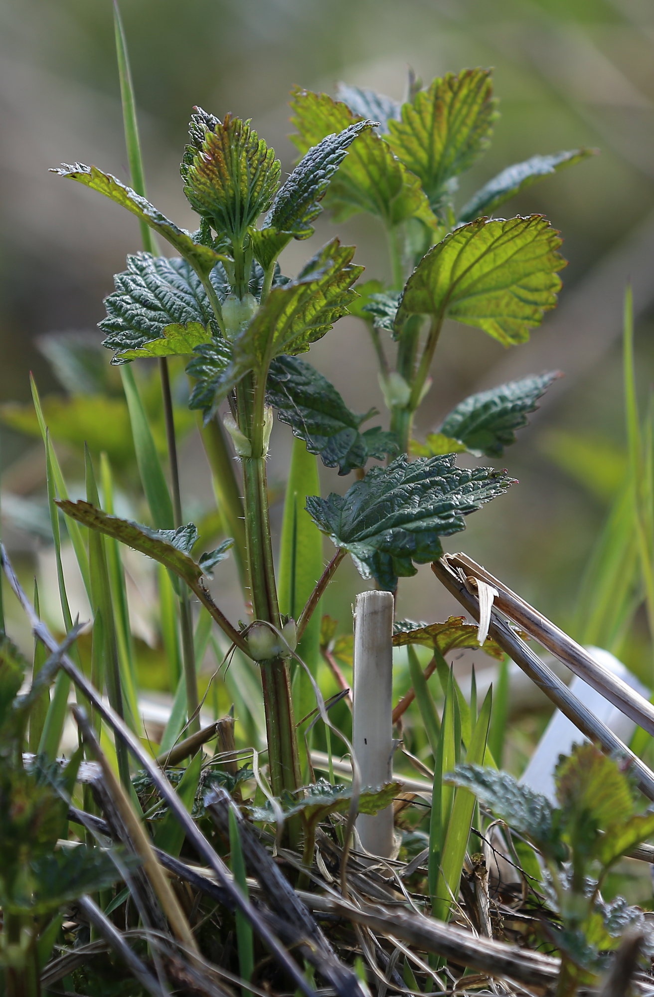 Young nettle plants found near a river.