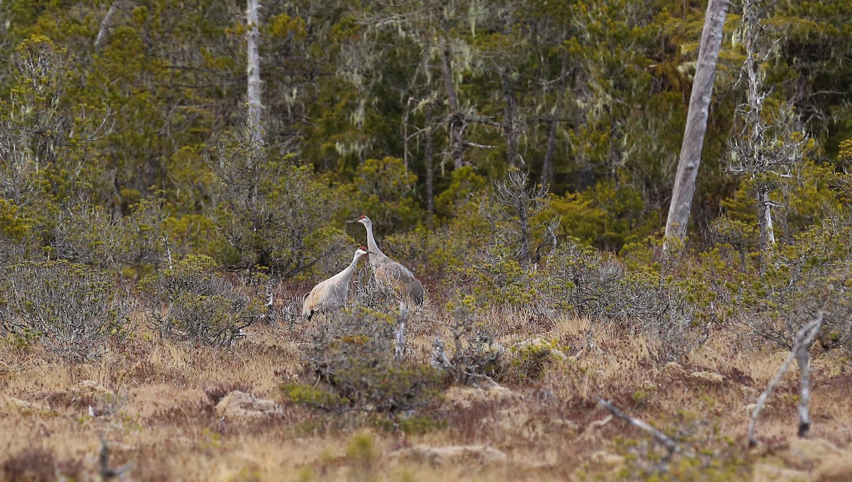 Sandhill cranes muskeg Alaska