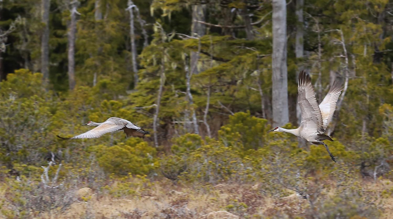 Sandhill cranes takeoff Southeast Alaska