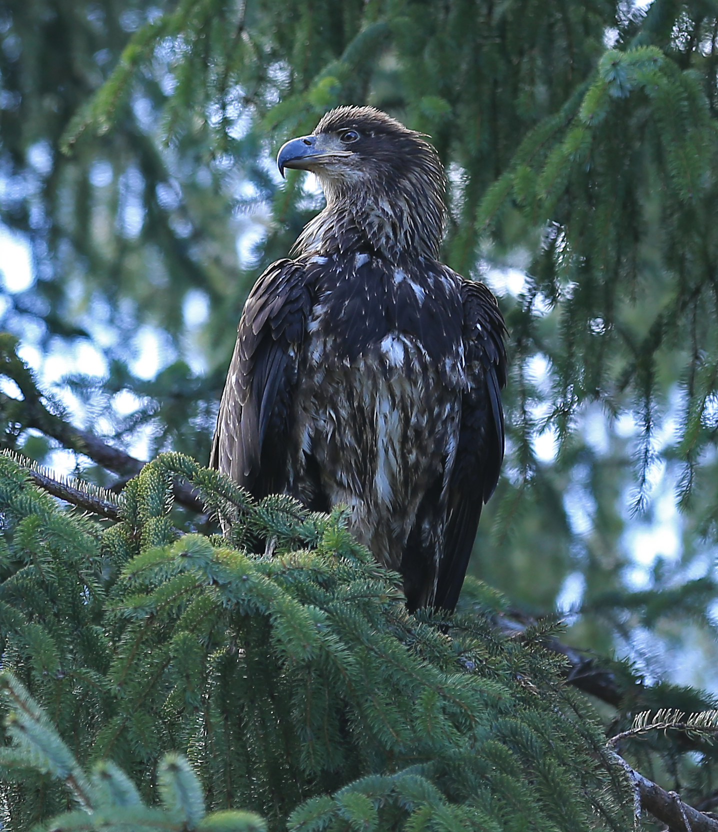 bald eagle immature juvenile in tree Southeast Alaska