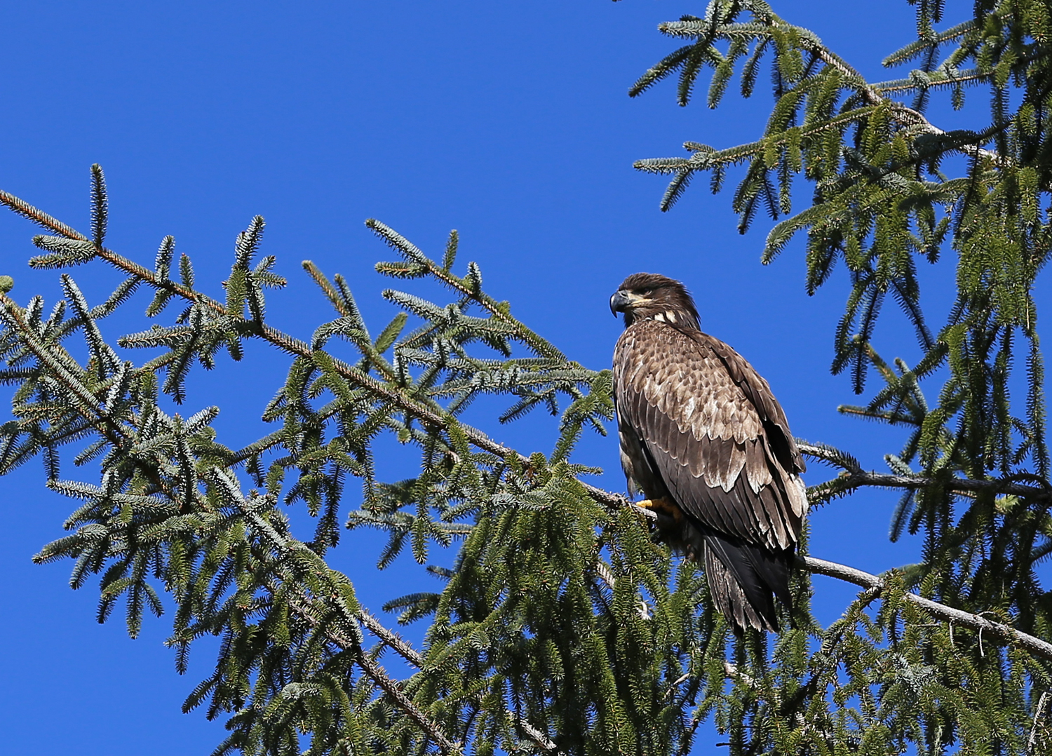 Juvenile bald eagle immature Southeast Alaska