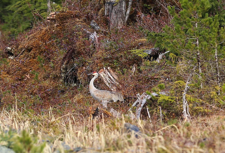 Sandhill crane southeast Alaska
