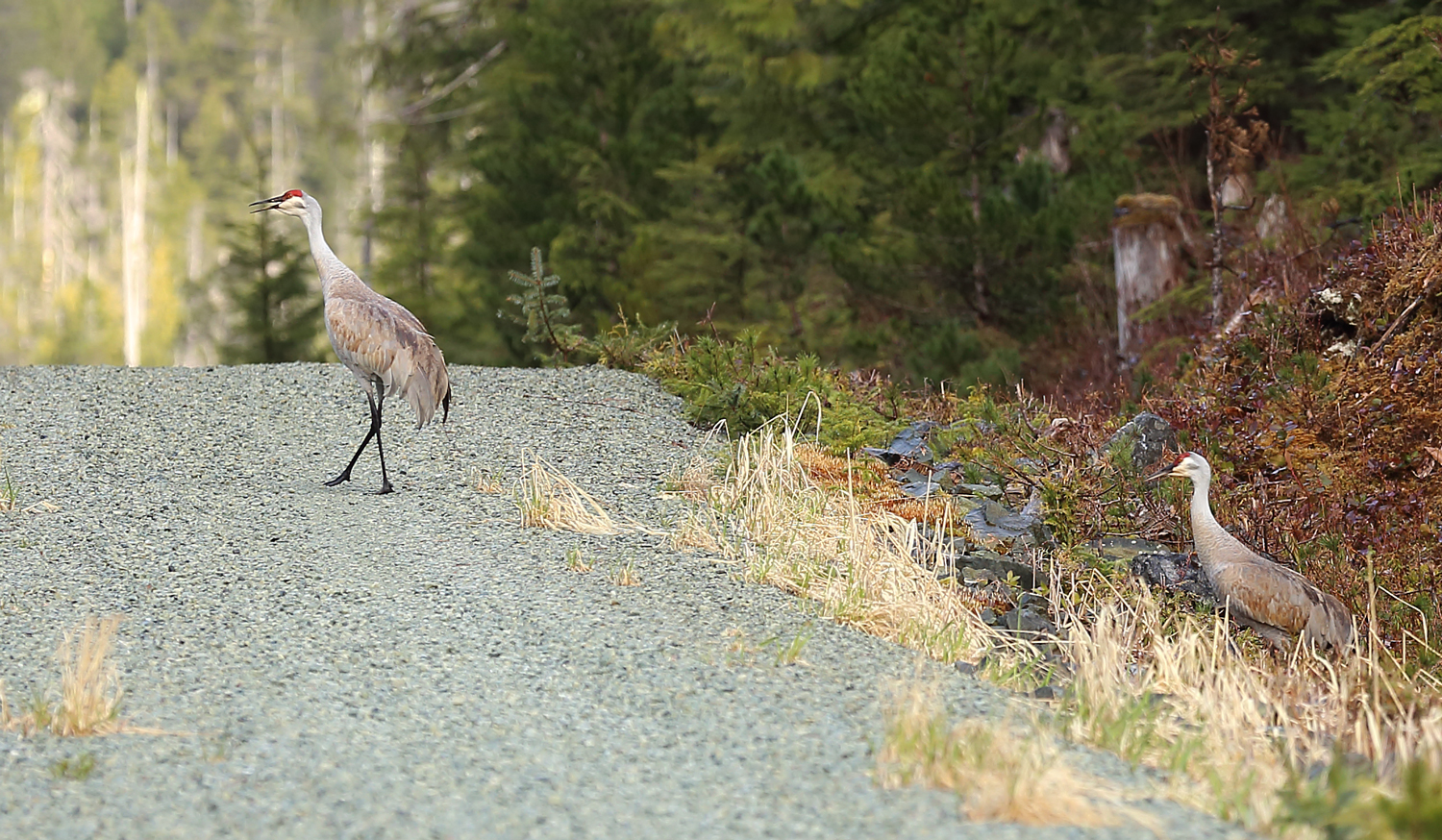 Why did the sandhill cranes cross the road?