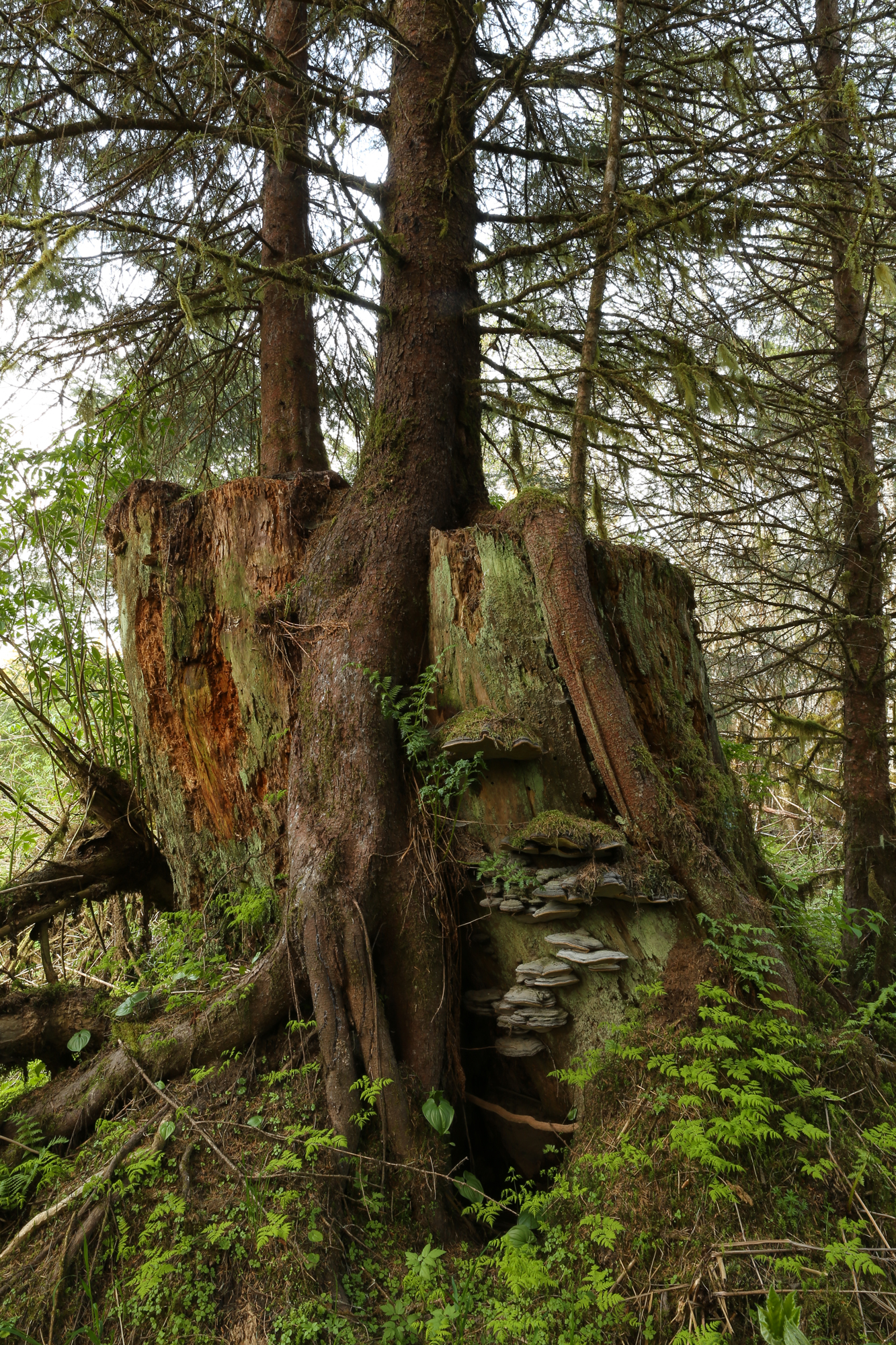 stump bracket fungi spruce second growth logging Alaska