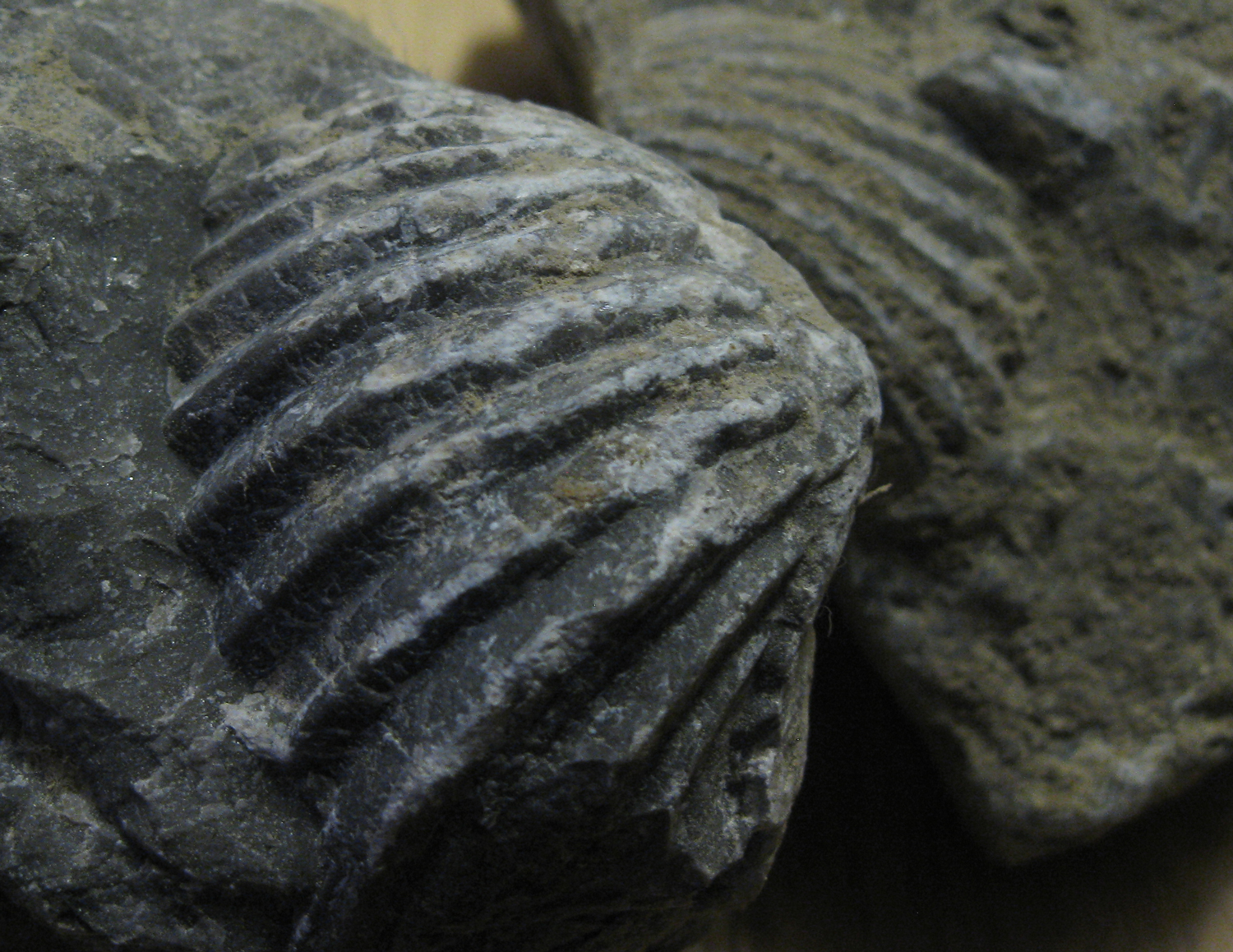 Brachiopod fossils look similar to cockle shells, but were a different creature.