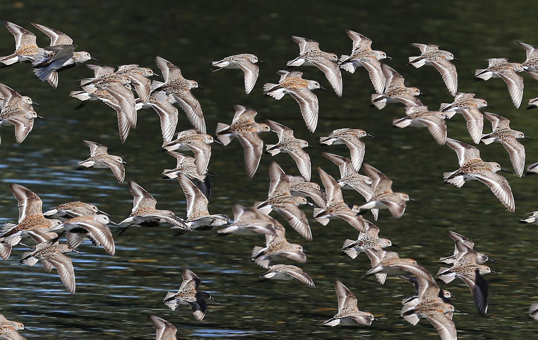 Several species of sandpiper in flight.