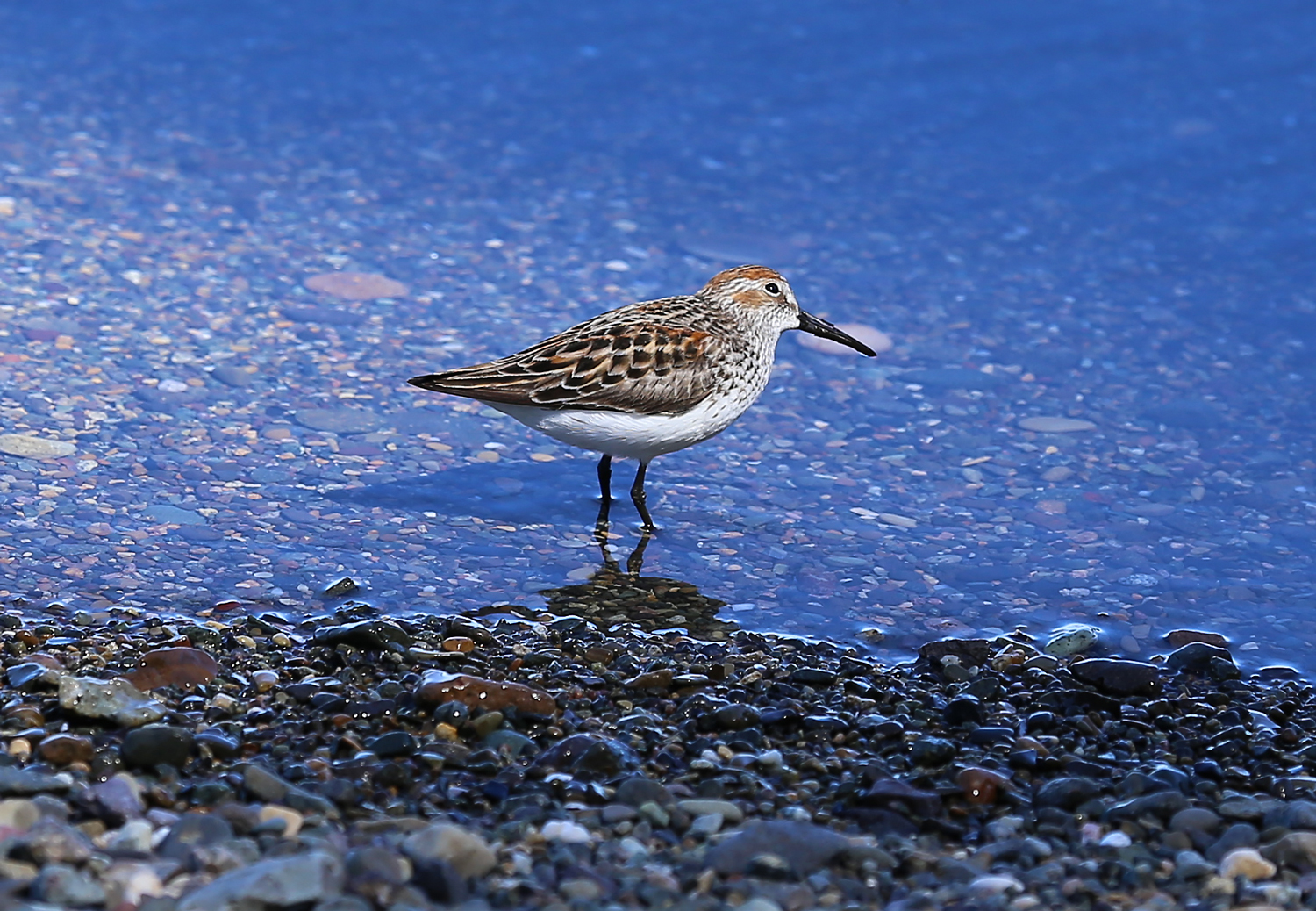 The sandpipers tilted their heads often, watching the sky for predatory birds.