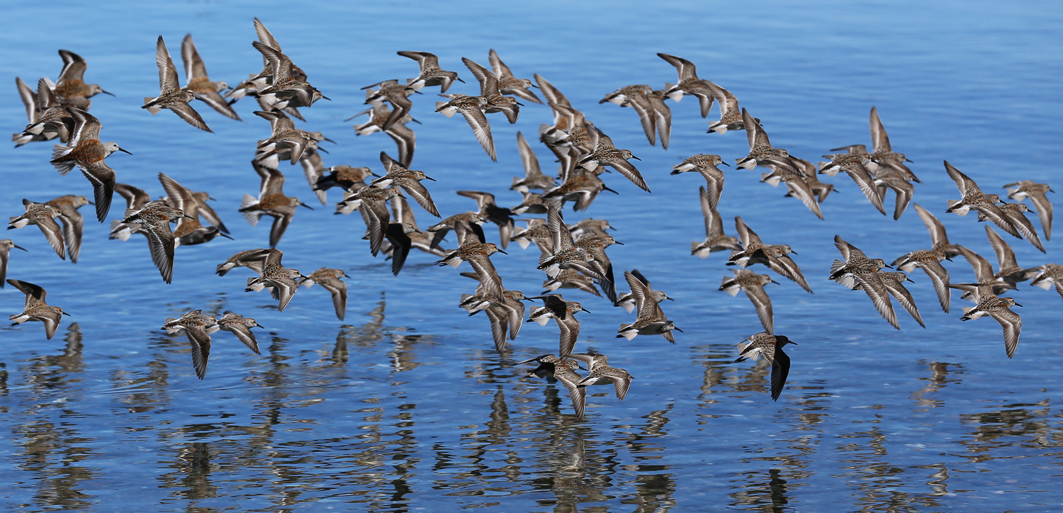 Sandpipers, brown side.