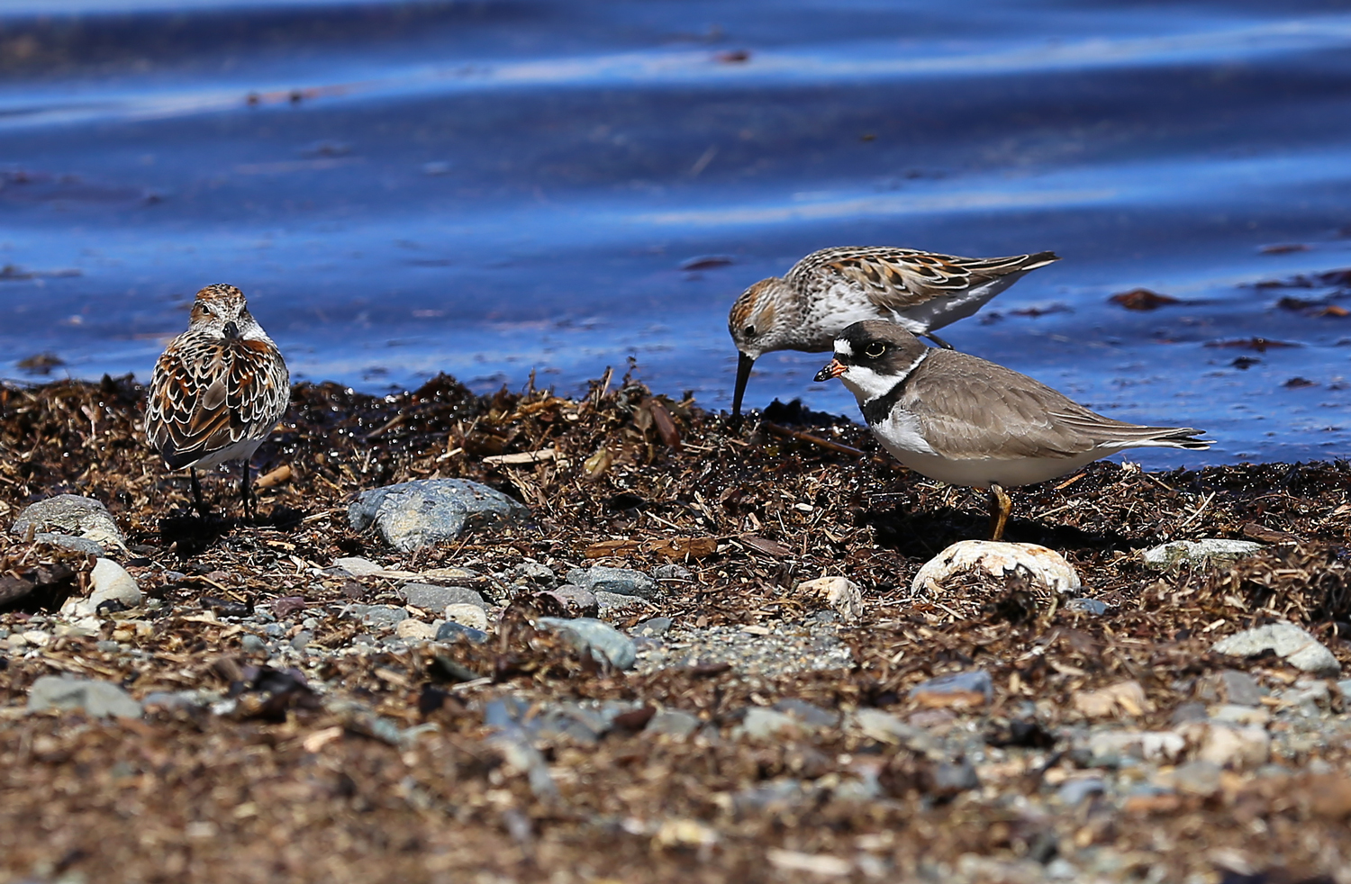 Semipalmated plover ( Charadrius semipalmatus ) and two sandpipers.