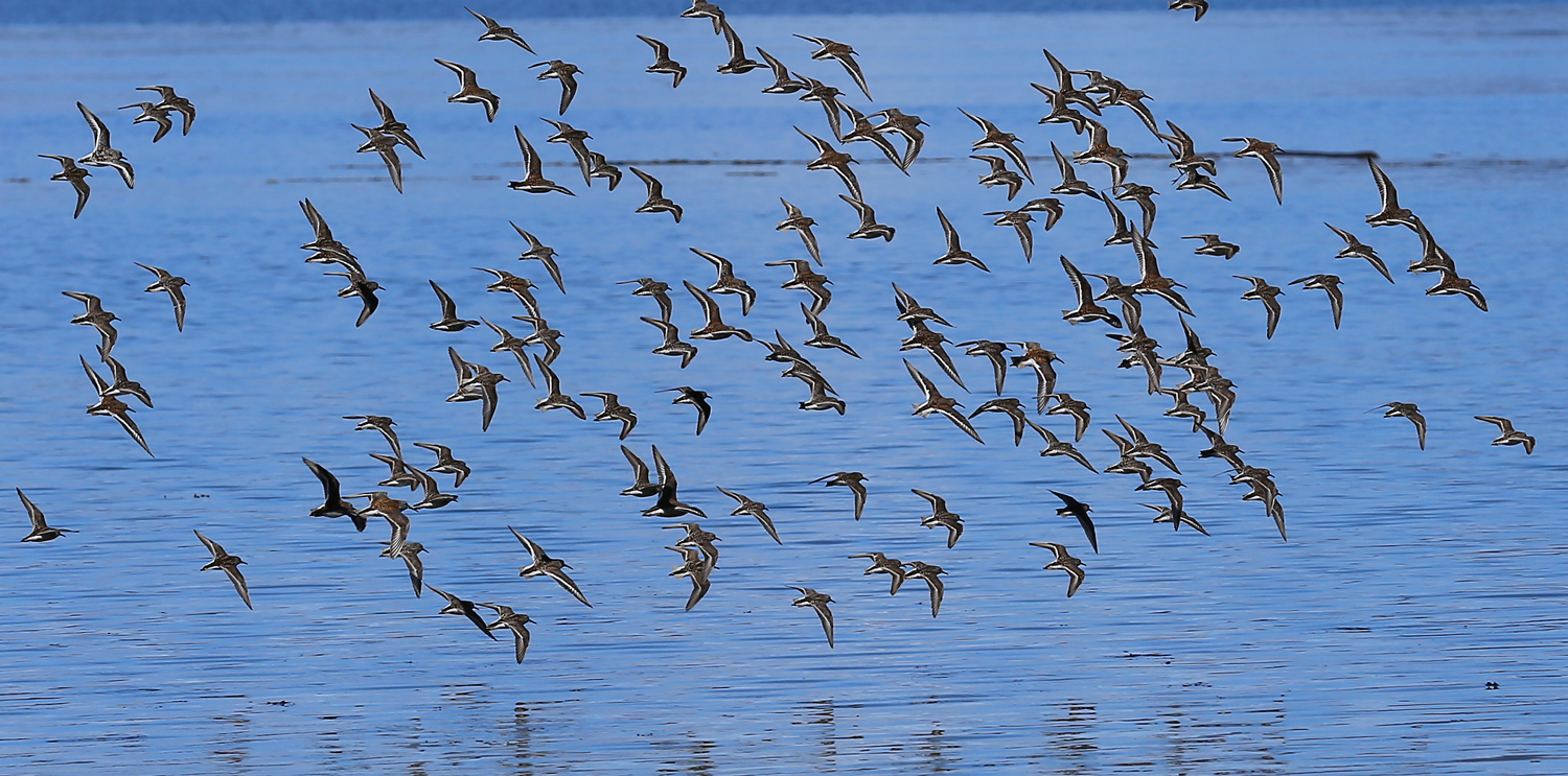 flying sandpipers in flight Southeast Alaska Prince of Wales Island